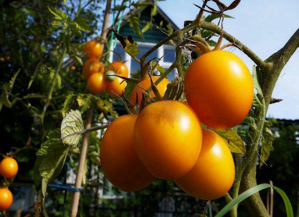 Хорошие семена томатов для теплиц для сибири