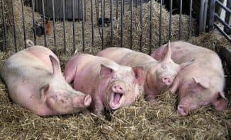 свиная чума