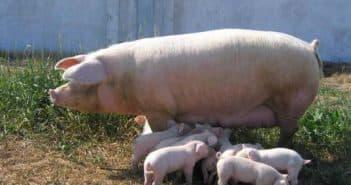 разные свиньи