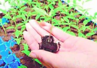 пикировка растений в теплице
