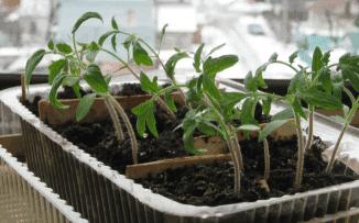 рассада томатов без пикировки