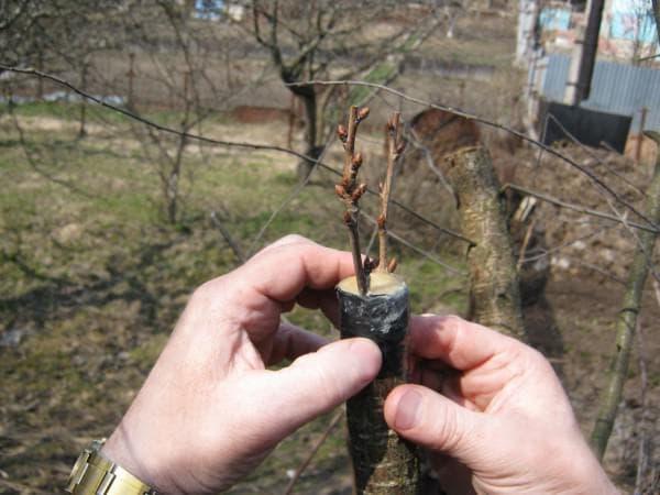 плоды с привитого деревьев