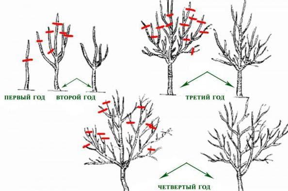 когда и как обрезать фруктовые деревья