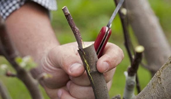 прививание дерева при помощи черенков