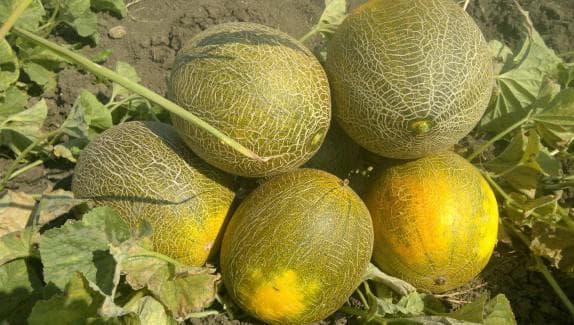 Дыня Колхозница описание сорта выращивание и уход урожайность с фото