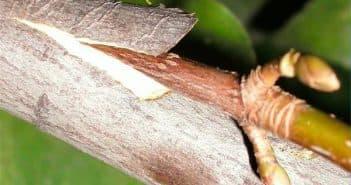 прививка саженцев плодовых деревьев