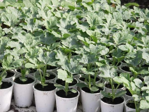 выращивание рассады дыни в горшочках