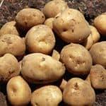 картофель сорт гала отзывы