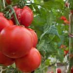 томаты высокорослые урожайные для открытого грунта