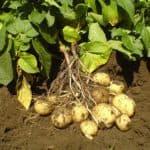 как сажать картофель под солому видео