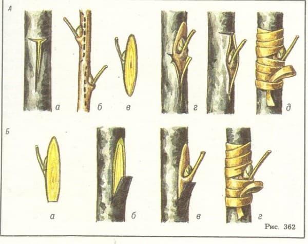 прививки для плодовых деревьев своими руками