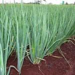 лук на зелень белое перо выращивание