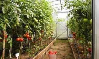 выращивание томатов в теплице из поликарбоната