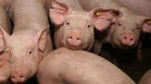 Состав комбикорма для откорма свиней