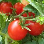 какие сорта томатов для теплицы из поликарбоната