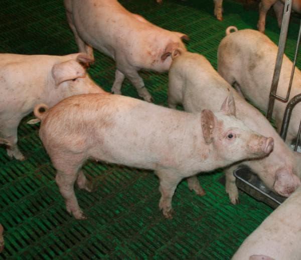 болезни свиней и их симптомы