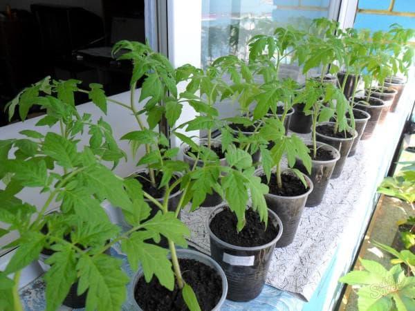 рассада томатов без пикировки дома