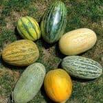 Правила выращивания дыни в открытом грунте