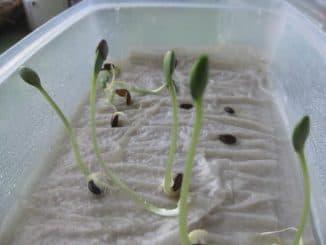 подготовка семян арбузов для посадки