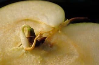 росток яблока в самом яблоке
