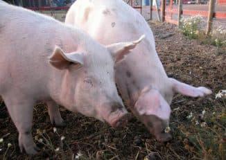 дизентерия у свиней