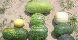 разные сорта арбузов