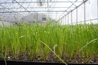 выращивание зелени в теплице