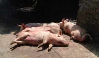 трихинеллез у свиней
