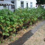 посадка шпината в открытый грунт