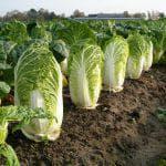 сроки посадки цветной капусты на рассаду