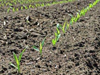 как посадить кукурузу в открытый грунт семенами