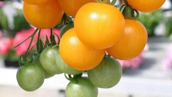 помидор Оранжевое чудо