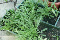 выращивание из семян руккола на подоконнике