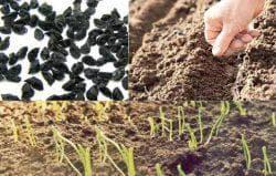 подготовка семян ялтинского лука