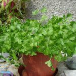 выращивание из семян петрушки корневой