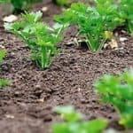 Как сажать семенами петрушку в открытый грунт: инструкция