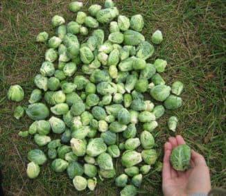 капуста брюссельская выращивание из семян когда сажать