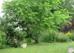 маньчжурский орех на участке в саду