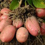 посадка картофеля с сидератами