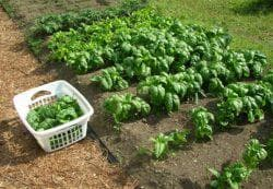 выращивание шпината из семян