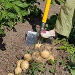 какие сидераты лучше сеять весной под картофель