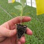 посадка на рассаду капусты брокколи