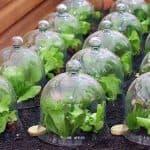 Как и когда сажать цветную капусту: выращивание из семян