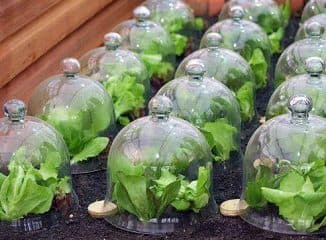 как замочить семена цветной капусты