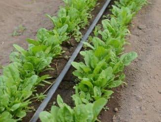 шпинат выращивание из семян дома