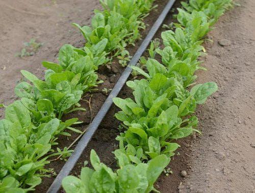 Как выращивать шпинат из семян