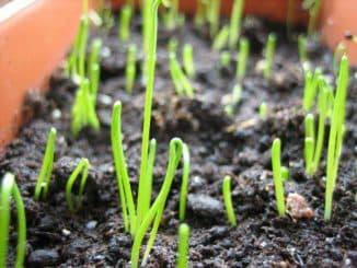 посев лука порея на рассаду