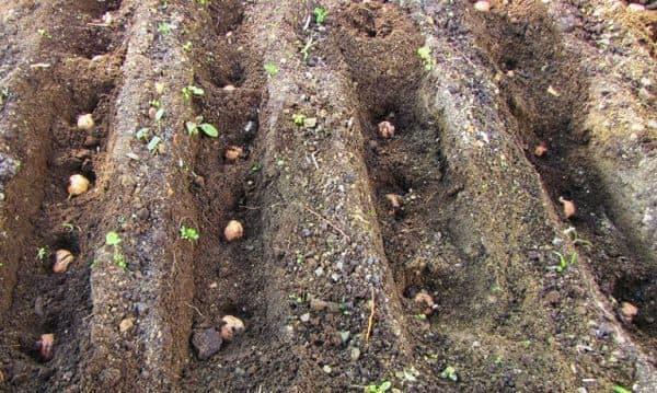 земля под посадку маньчжурского ореха