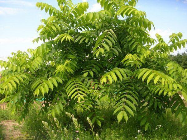 маньчжурский орех в саду