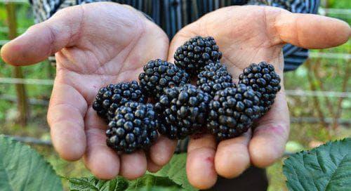 Выращивание ежевики в Сибири: посадка и уход в открытом грунте